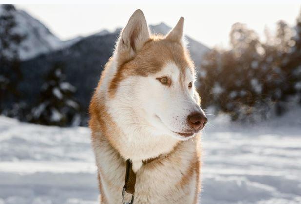 types of huskies
